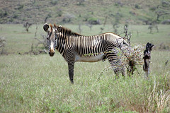 animal, prairie, mane, zebra, mammal, fauna, savanna, grassland, safari, wildlife,