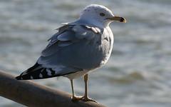 Professor Sea Gull
