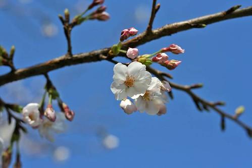 Sakura 06.3.25 #003