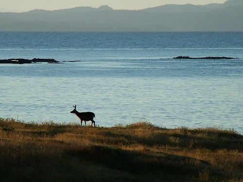 nature grass sunrise geotagged island dawn coast bc britishcolumbia deer gulfislands westcoast hornbyisland hornby blacktail fujifinepixs7000 helliwell blacktaildeer hornbyis geolat49516795 geolon124584875