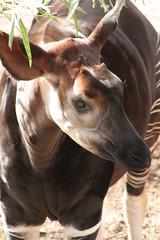 horn(0.0), giraffe(0.0), bongo(0.0), animal(1.0), okapi(1.0), fauna(1.0), giraffidae(1.0),