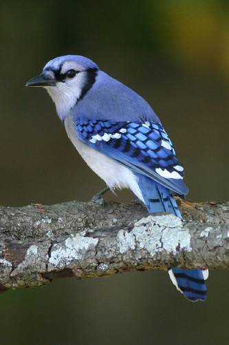 Blue Jay, What's that click noise?
