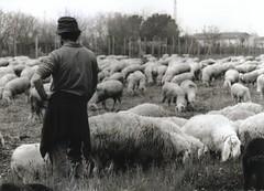 animal, field, sheeps, sheep, shepherd, herd, grazing, pasture, black-and-white,