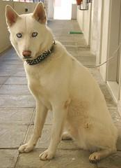 dog breed, animal, dog, canaan dog, pet, mammal, kishu, wolfdog,