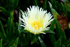 pigface, flower, leaf, yellow, plant, nature, macro photography, wildflower, flora, green, close-up, petal,