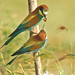 European Bee-Eater - Photo (c) Joaquim Coelho, some rights reserved (CC BY-NC-ND)