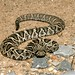 Eastern Diamondback Rattlesnake - Photo (c) Zack, some rights reserved (CC BY-NC-SA)