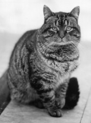 animal, tabby cat, small to medium-sized cats, pet, mammal, european shorthair, monochrome photography, fauna, american shorthair, cat, wild cat, monochrome, whiskers, black-and-white, domestic short-haired cat,