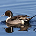 Northern Pintail by Doug Lloyd