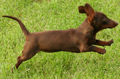 cirneco dell'etna(0.0), manchester terrier(0.0), pinscher(0.0), toy manchester terrier(0.0), english toy terrier(0.0), irish terrier(0.0), patterdale terrier(0.0), mexican hairless dog(0.0), terrier(0.0), dog breed(1.0), animal(1.0), dog(1.0), russkiy toy(1.0), carnivoran(1.0),