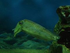 coral reef(1.0), cephalopod(1.0), organism(1.0), marine biology(1.0), invertebrate(1.0), cuttlefish(1.0), underwater(1.0), reef(1.0), aquarium(1.0),