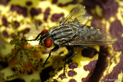 Orbea variegata flower fly pollination