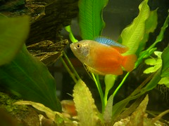 Male Flame Dwarf Gourami