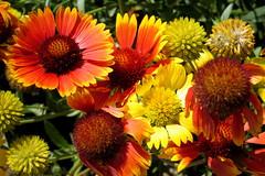 gaillardia, annual plant, flower, yellow, plant, macro photography, flora, petal,