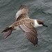 Great Shearwater - Photo (c) Artie Kopelman, some rights reserved (CC BY-NC)