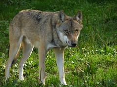 animal, canis lupus tundrarum, czechoslovakian wolfdog, gray wolf, red wolf, mammal, jackal, east siberian laika, tamaskan dog, fauna, wolfdog, saarloos wolfdog, coyote, wildlife,