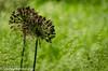 Alliums in the grass.jpg