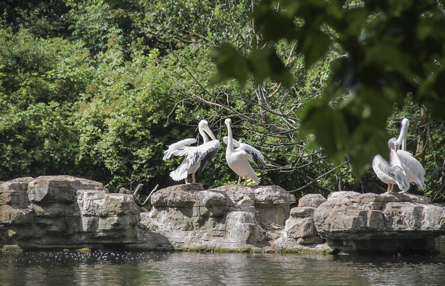 St James's Park - The Ambassador's pelicans