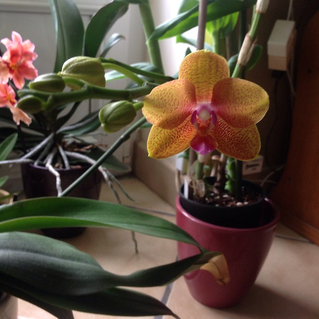Floraison des orchidées de juin à........... 19177943184_0028af85e9_z