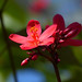 Jatropha integerrina by celerycelery