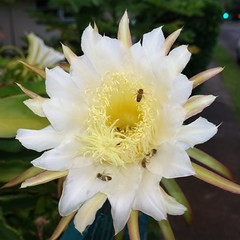 moonlight cactus(0.0), epiphyllum anguliger(0.0), caryophyllales(0.0), flower(1.0), yellow(1.0), plant(1.0), flora(1.0), epiphyllum oxypetalum(1.0), epiphyllum crenatum(1.0),