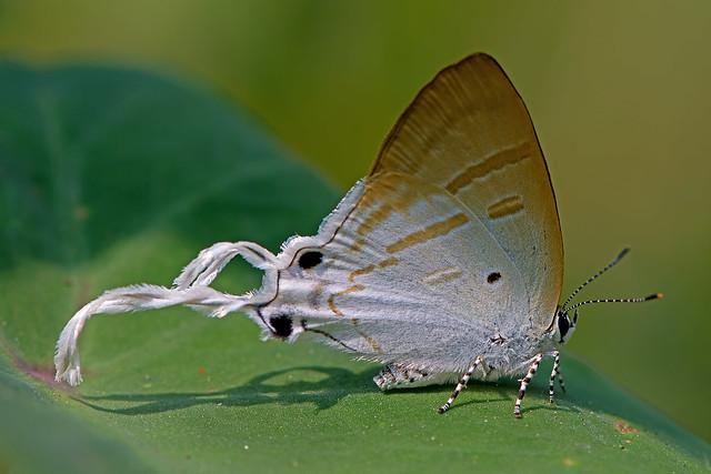 Hypolycaena amasa - the Fluffy Tit