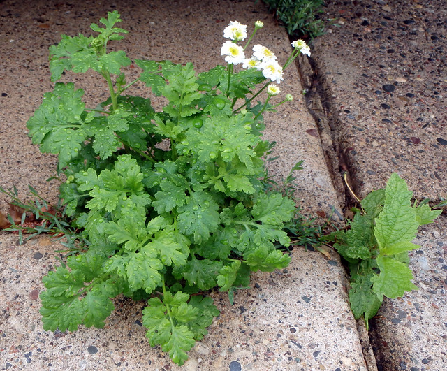 feverfew flowers starting to bloom