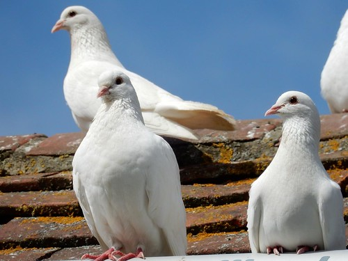 White doves, Pulborough reserve