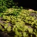 Small photo of Creeping Jenny with Sweet Woodruff