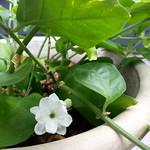 jasmine planting in deck: Cobweb Cottage by wrdnrd