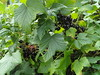 Now for the blackcurrants by bryanilona
