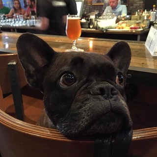 One of the regulars at @saltandcleaver, my favorite watering hole in #SanDiego Hillcrest. Hello Winston! #dogstagram #goodboy