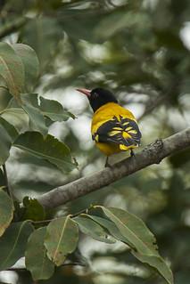 Black-hooded Oriole - Bandavhgarh - India_8361