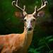 Buck in velvet by justbelightful