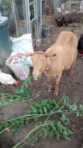 goats July 15 (6)