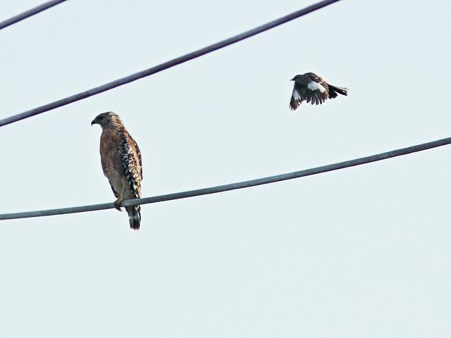 Mockingbird attacks hawk 2-20150803