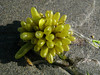 Bladderwrack by prima seadiva- defeated by the heat...
