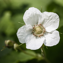 Summer Flower, Chester Creek, Duluth