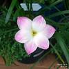 rain lily: lily pie