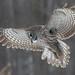 Chouette lapone - Great grey owl - Strix nebulosa by Maxime Legare-Vezina