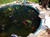 New pond with fish