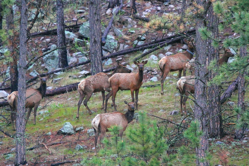 IMG_0227 Elk, Custer State Park