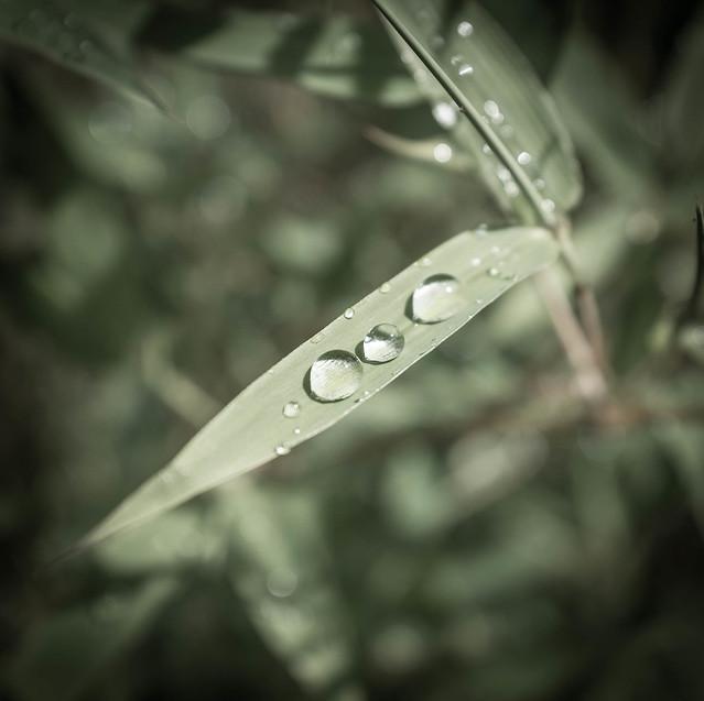 Bamboo rain drop