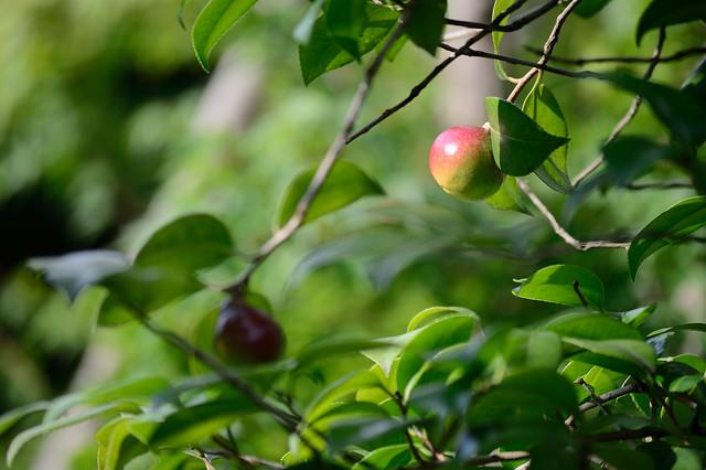 ツバキの実 Fruits of Camellia