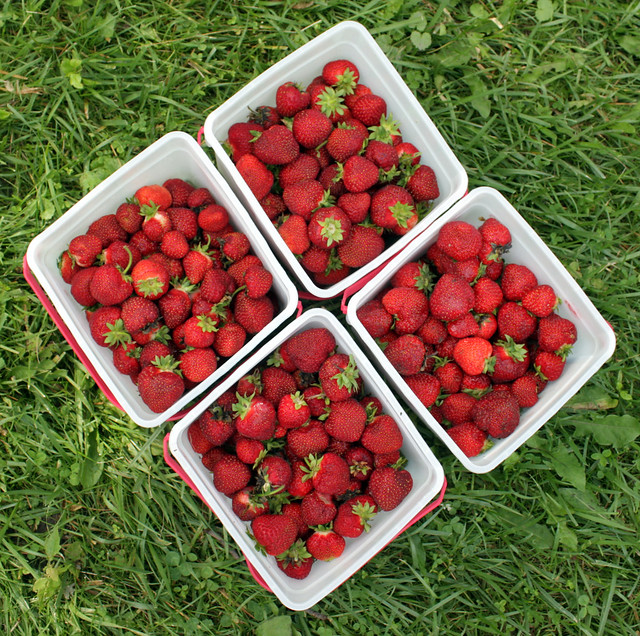 four square buckets of strawberries