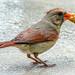 Young cardinal is proud to master peanuts.  His dad is nearby.   Jeune cardinal est fier de maîtriser les arachides. Son père est proche.        DSC_6306 by Nicole Nicky