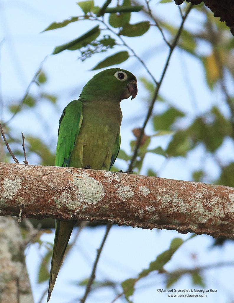 Aztec-Parakeet-adult6702