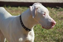 american bulldog(0.0), weimaraner(0.0), dog breed(1.0), animal(1.0), dog(1.0), dogo argentino(1.0), pet(1.0), guard dog(1.0), carnivoran(1.0),
