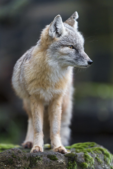 Corsac fox looking at the side