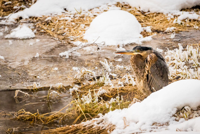 A Very Cold Great, Canon EOS-1D X MARK II, Canon EF 800mm f/5.6L IS
